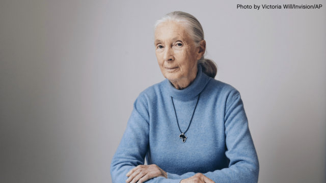 Jane Goodall in a blue sweater