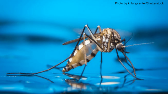 mosquito standing in water